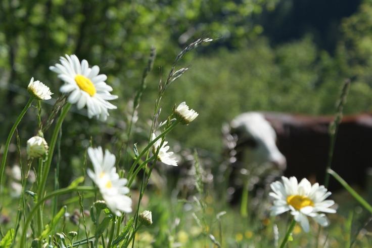 cow-740939_1280 (1)